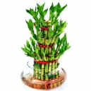 lucky bamboo plant to philippines
