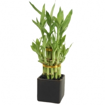 send classic bamboo house plant to philippines
