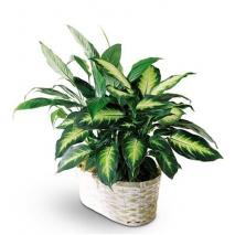 send lush green plant arrangement to philippines
