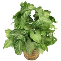 send arrowhead green plant to philippines