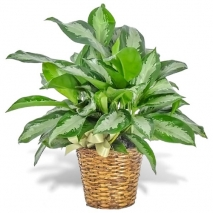 send chinese evergreen plant basket to philippines