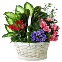 send mixed indoor green plants basket to philippines