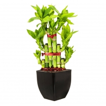 legend lucky bamboo philippines