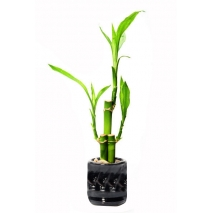 lucky bamboo arrangement to philippines