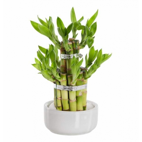 lucky bamboo to philippines