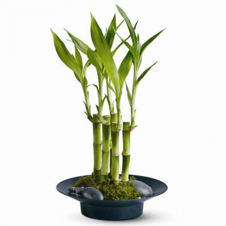 send lucky bamboo with river rock to philippines