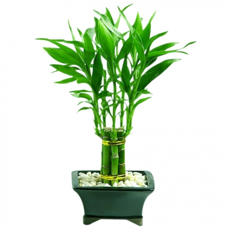 send braided lucky bamboo to philippines