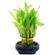 send lucky bamboo forest plant to philippines