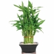 curling lucky bamboo to philippines